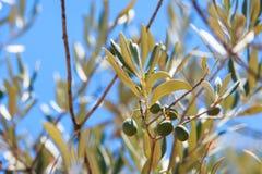 Detail van olijfboom Stock Foto's
