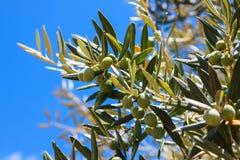 Detail van olijfboom Stock Foto