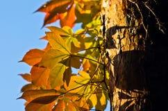 Detail van oranje en gele bladeren tegen blauwe hemel bij de herfst Stock Afbeeldingen