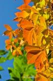 Detail van oranje en gele bladeren tegen blauwe hemel bij de herfst Royalty-vrije Stock Foto