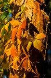 Detail van oranje en gele bladeren tegen blauwe hemel bij de herfst Stock Foto