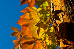 Detail van oranje en gele bladeren tegen blauwe hemel bij de herfst Stock Fotografie