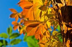 Detail van oranje en gele bladeren tegen blauwe hemel bij de herfst Stock Foto's