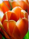 Detail van oranje tulpenbloem Royalty-vrije Stock Foto's