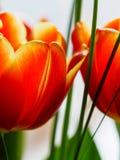 Detail van oranje tulpenbloem Stock Foto's