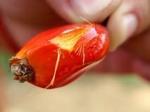 Detail van palmoliefruit Stock Fotografie