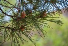 Detail van pijnboomtak in een park in de lente royalty-vrije stock afbeelding