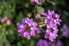 Detail van purpere bloemen stock afbeeldingen