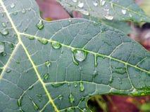 detail van regendruppels op papajablad stock foto