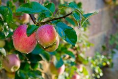 Detail van rode appelen stock afbeelding