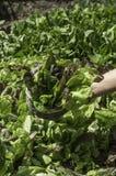 Detail van salade in een mand Stock Fotografie