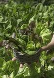 Detail van salade in een mand Stock Foto's