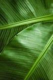 Detail van twee banaanbladeren Royalty-vrije Stock Afbeeldingen