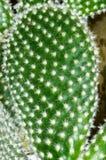 Detail van Vijgencactus microdasys Royalty-vrije Stock Afbeeldingen