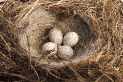 Detail van vogeleieren in nest Stock Foto