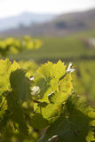 Detail van wijngaarden in Sicilië Stock Foto