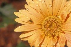 Detail van Zinnia in de lente, Tamper, FL Royalty-vrije Stock Afbeelding
