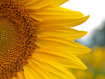 Detail van zonnebloem op het gebied royalty-vrije stock afbeeldingen