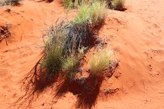 Detail vegetation in the great red centre , Outhback Australian. Typicall vegetation in the red centre Stock Photo
