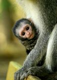 Vervet monkey baby being hold in arms of her mother in South Africa stock image
