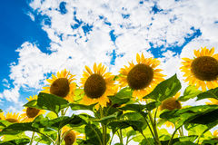 Detail of very beautiful fresh sunflower growth on big field Stock Photos