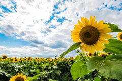 Detail of very beautiful fresh sunflower growth on big field Stock Images