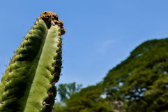 DETAIL VIEW OF THE CARDON CACTUS WITH BLUE CLEAR SKY. IN SUMMER royalty free stock photos