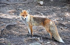 Dangerous animal fox. Detail view, dangerous animal fox in nature Royalty Free Stock Images