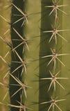 Detail view of flowering cardon cactus in summer in wetland unare lagoon Venezuela. Detail view of flowering carton cactus with thorns in summer in wetland unare Royalty Free Stock Photos