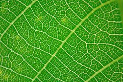 Detail view of green leaf texture Royalty Free Stock Photo