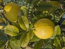 Detail view of a lemon tree Royalty Free Stock Photography
