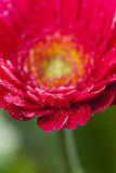 Detail view of a pink gerbera Blossom Stock Photography