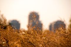 Detail view of reed spikelets against the city buildings Royalty Free Stock Photography