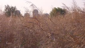 Detail view of reed spikelets against the city buildings stock video footage