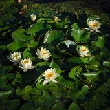 Wiew of white water lilies. Detail view of some white water lilies Royalty Free Stock Photos