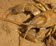 Detail of stone crayfish Stock Photography