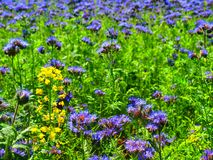 Detail view to blue Purple Tansy field in countryside in hot summer day. Green blue purple flowers in blossom Royalty Free Stock Image
