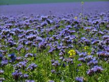 Detail view to blue Purple Tansy field in countryside in hot summer day. Green blue purple flowers in blossom Royalty Free Stock Photos