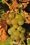 Detail view of wine grape Royalty Free Stock Image