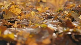 Detail view on yellow maple leaves falling to ground in autumn forest. Ground covered with dry vivid foliage. Colorful. Nature background. Slow motion Close up stock video