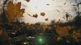 Detail view on yellow maple leaves falling to ground in autumn forest. Ground covered with dry vivid foliage. Sun. Illuminates falling leaves. Colorful fall stock footage