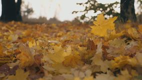 Detail view on yellow maple leaves falling to ground in autumn forest. Ground covered with dry vivid foliage. Colorful. Nature background. Slow motion Close up stock footage