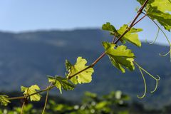 Detail of a vineyard leaf Stock Photography