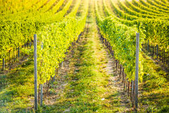 Detail of vineyard in Palava, Czech Royalty Free Stock Photography