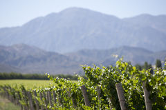 Detail of vineyards in Argentina Stock Image
