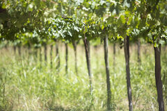 Detail of vineyards in Argentina Royalty Free Stock Image