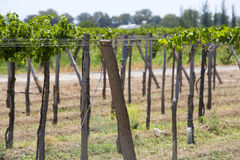Detail of vineyards in Argentina Stock Photography
