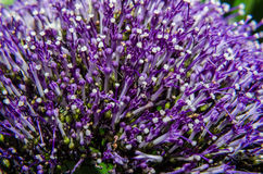 Detail of violet Caryopteris flower, clandonensis Heavenly Blue  deep blue flower spikes nestled Royalty Free Stock Photo