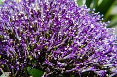 Detail of violet Caryopteris flower, clandonensis Heavenly Blue  deep blue flower spikes nestled Stock Image