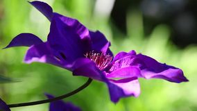 Detail of violet clematis Royalty Free Stock Images